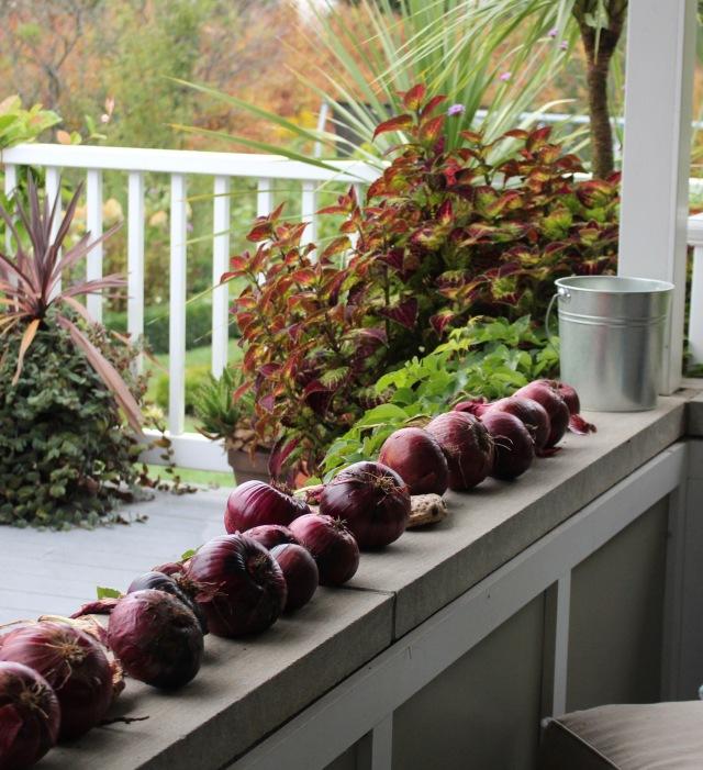 red onion harvest