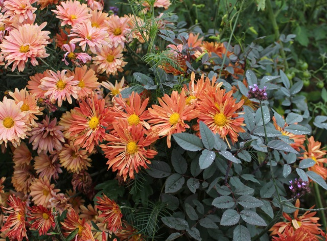hardy chrysanthemum