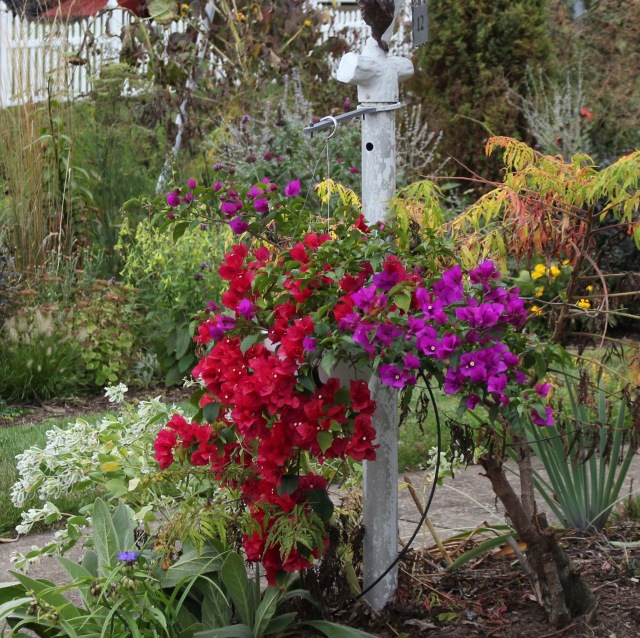 bougainvillea hanging pot
