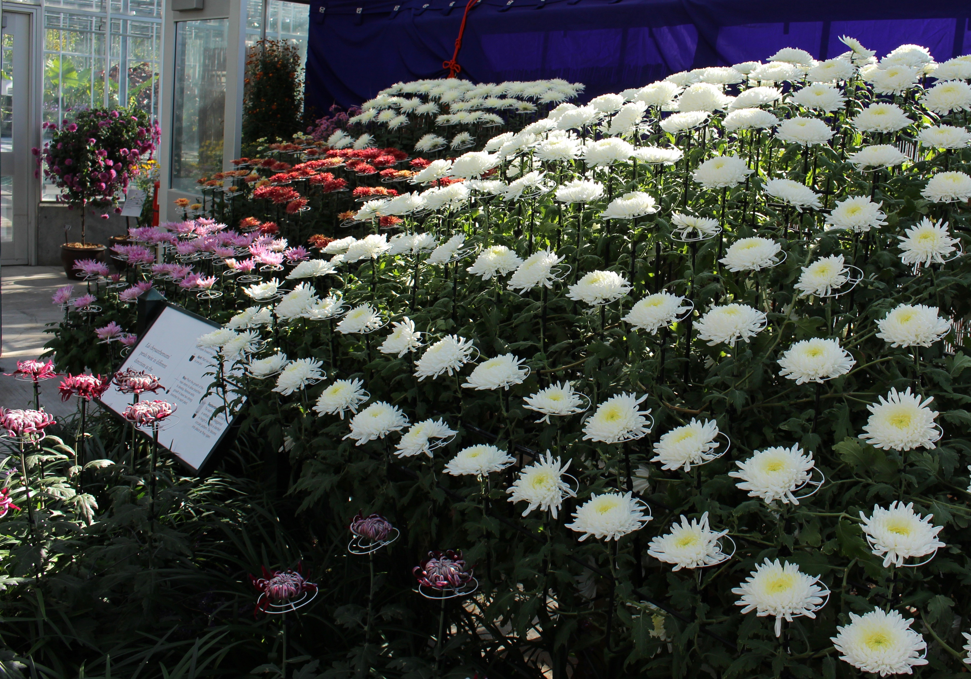 ny botanical garden kiku