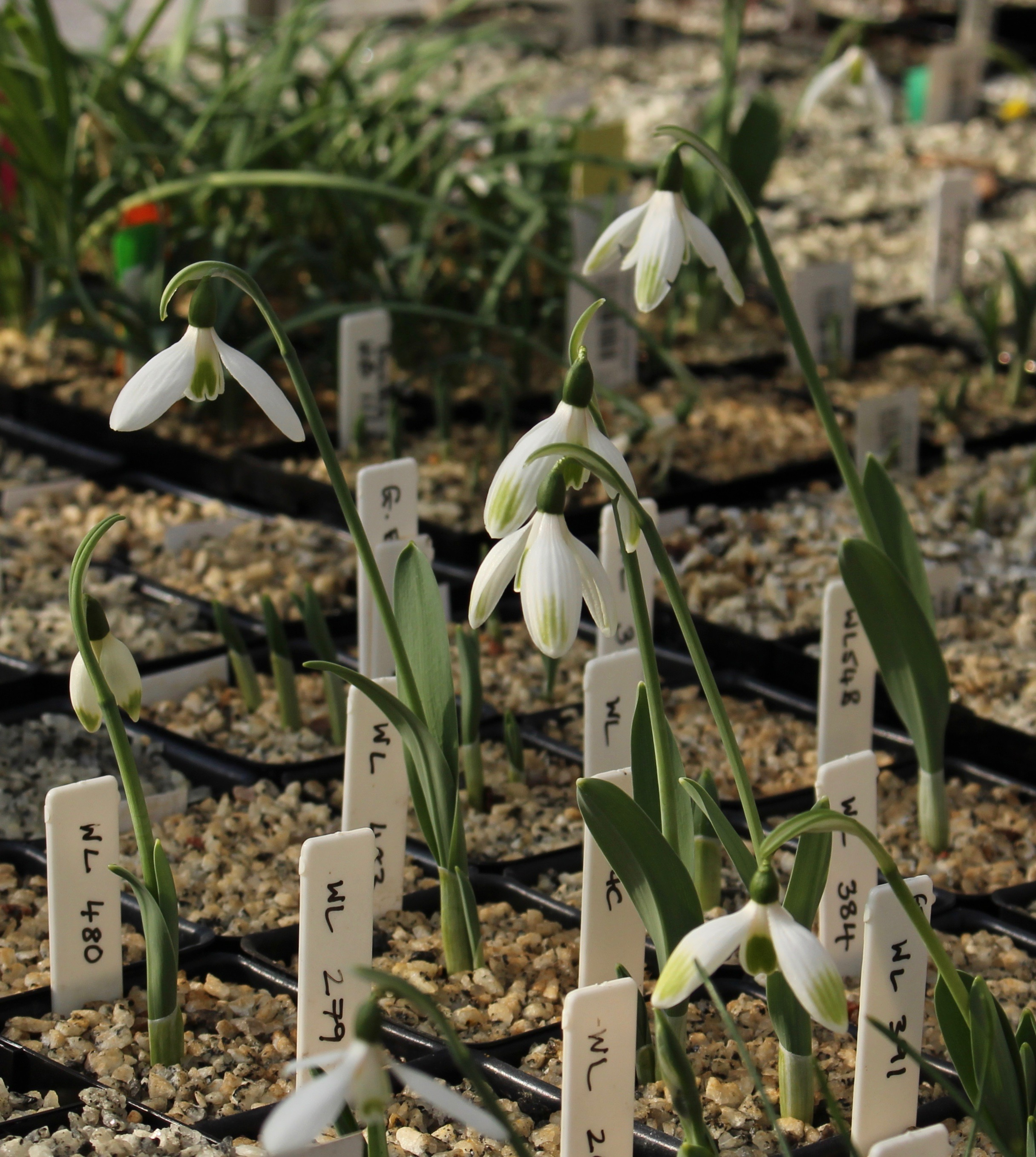 galanthus elwesii monostictus green tip