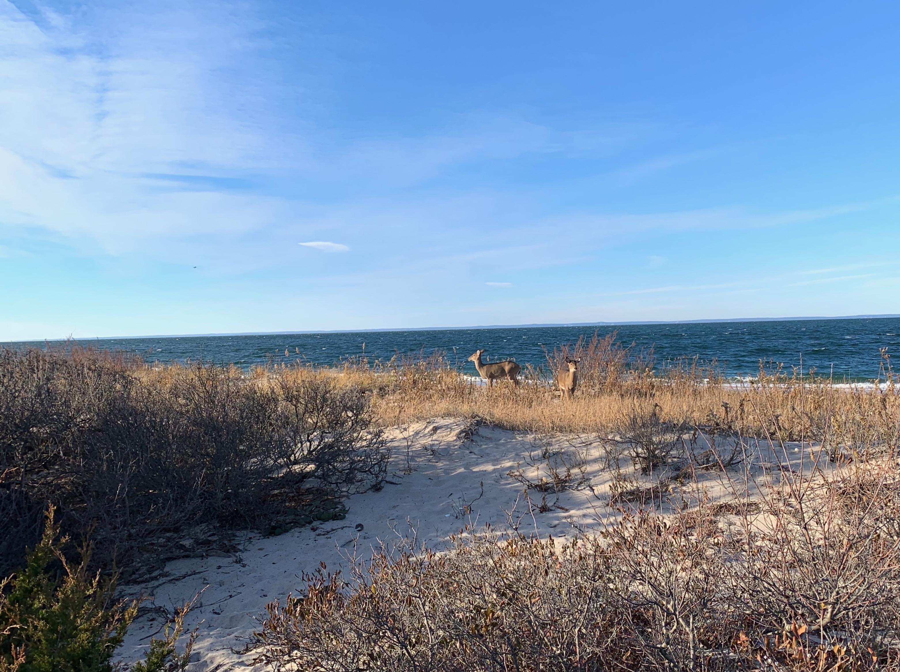 deer on Long Island