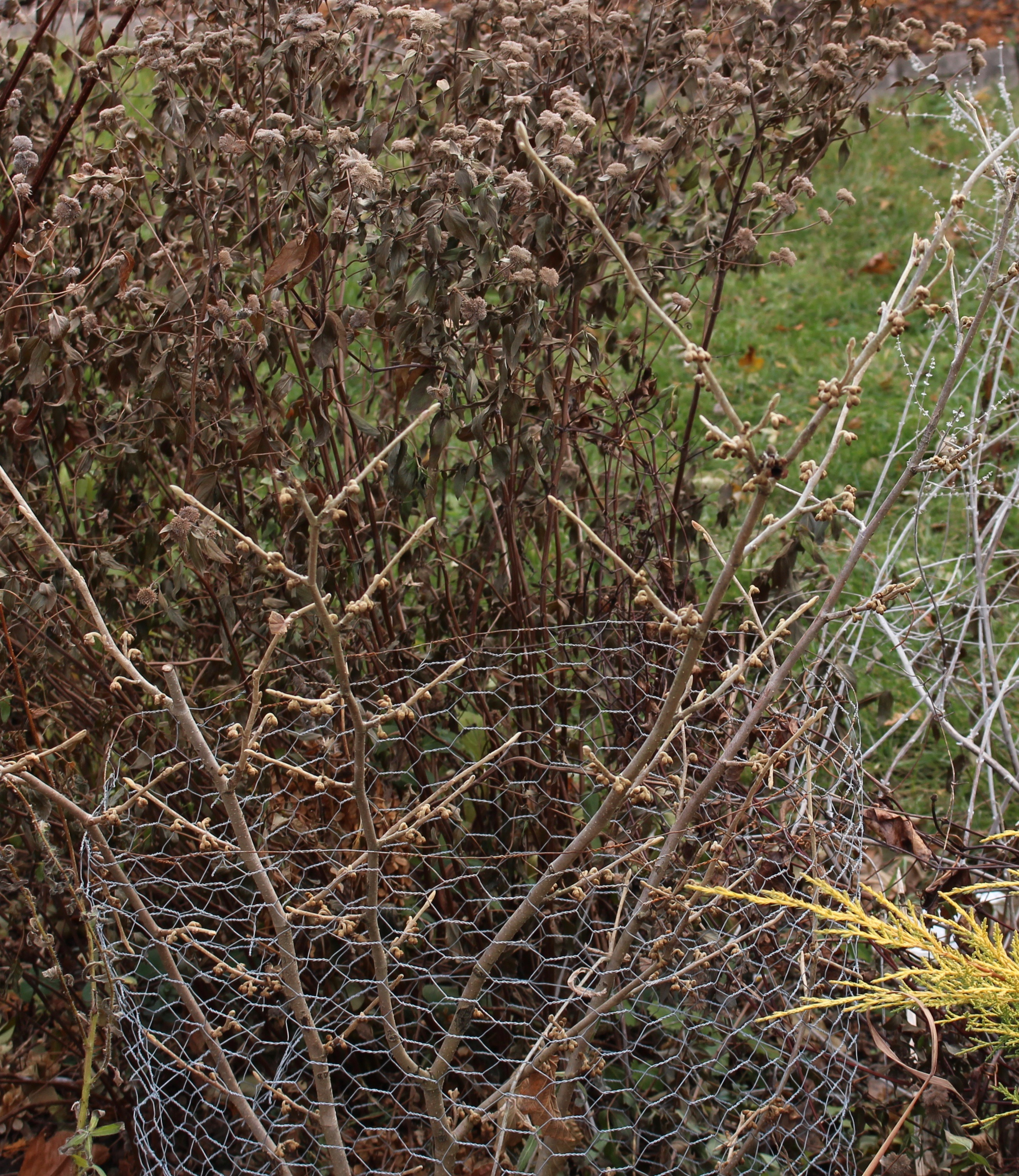 rabbit shrub protection