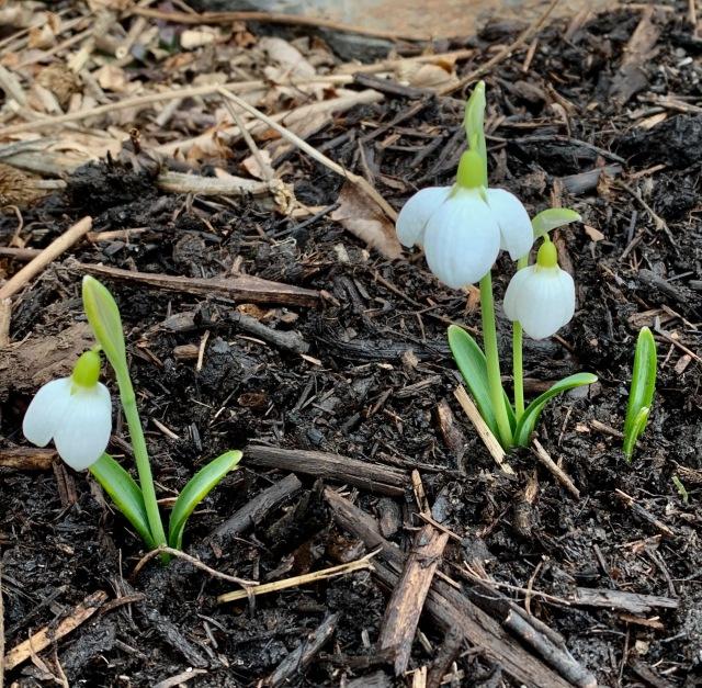 galanthus three ships