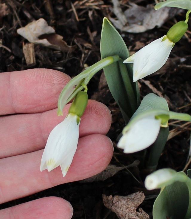 galanthus elwesii green tip