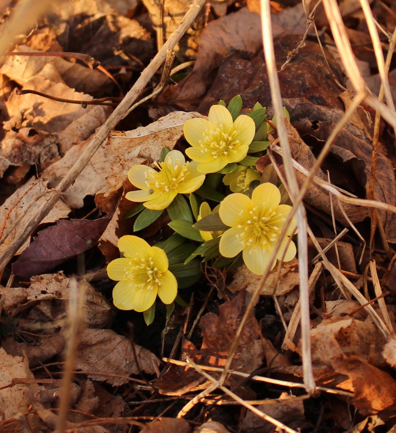 pale yellow eranthis hyemalis
