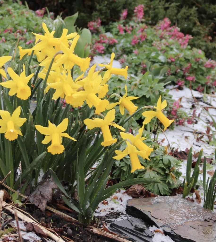 Tweety bird daffodil