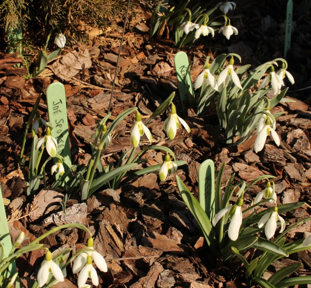 galanthus joe spotted