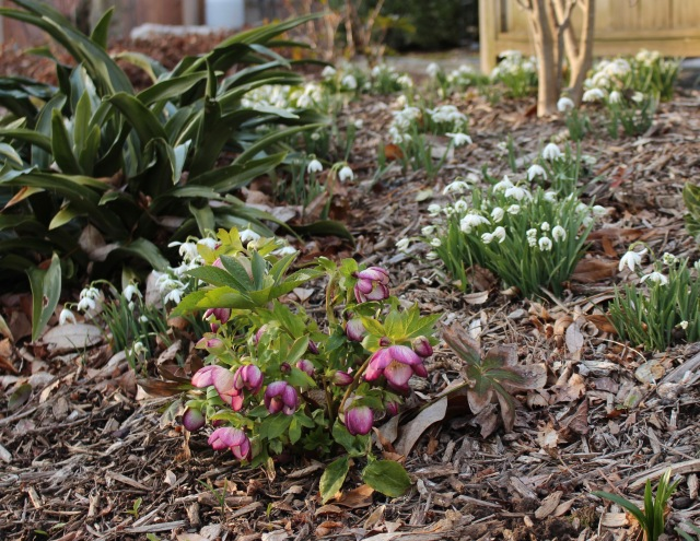 winter hellebores and snowdrops