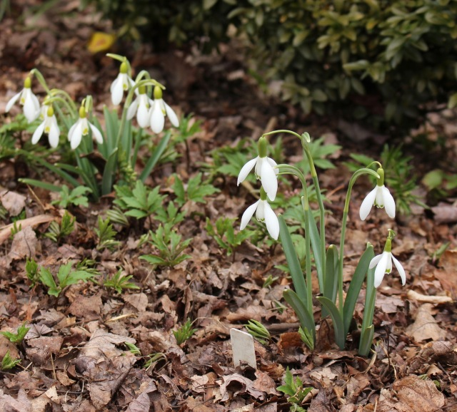 galanthus alans long ovary