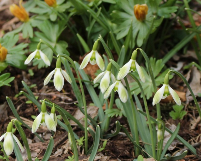 galanthus greenish