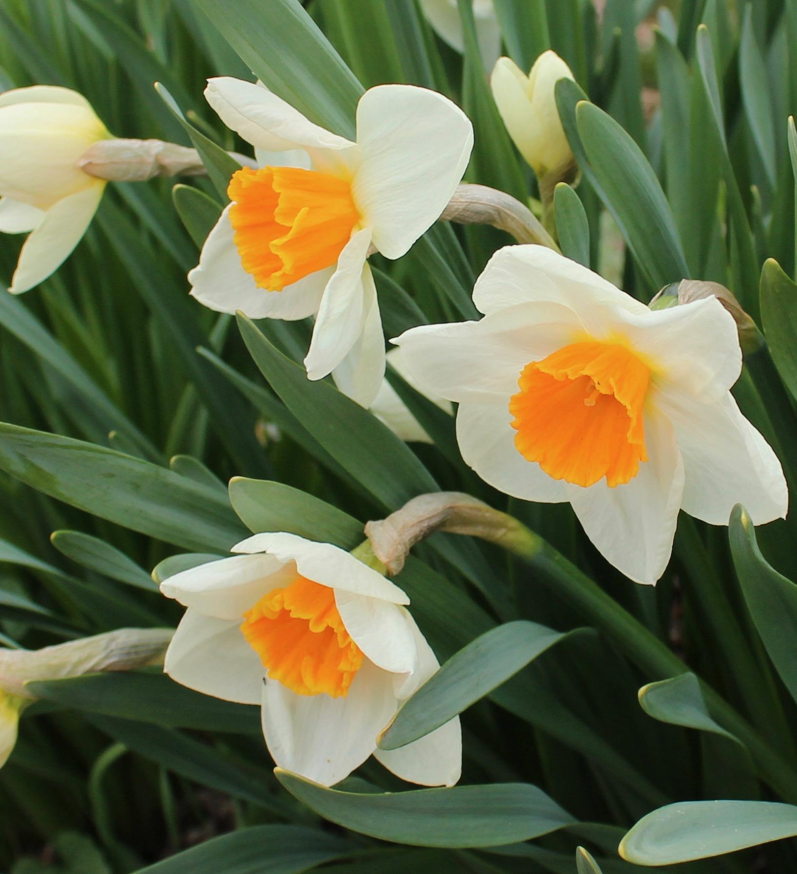 daffodil glaston