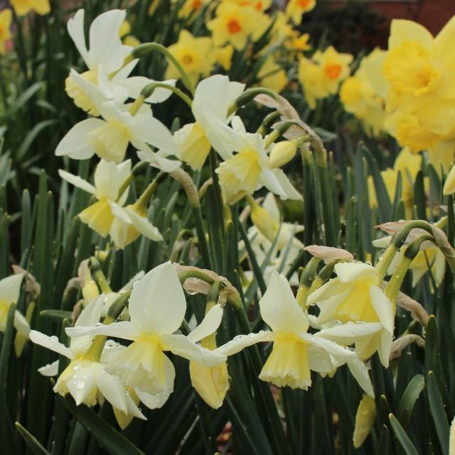 daffodil curlew