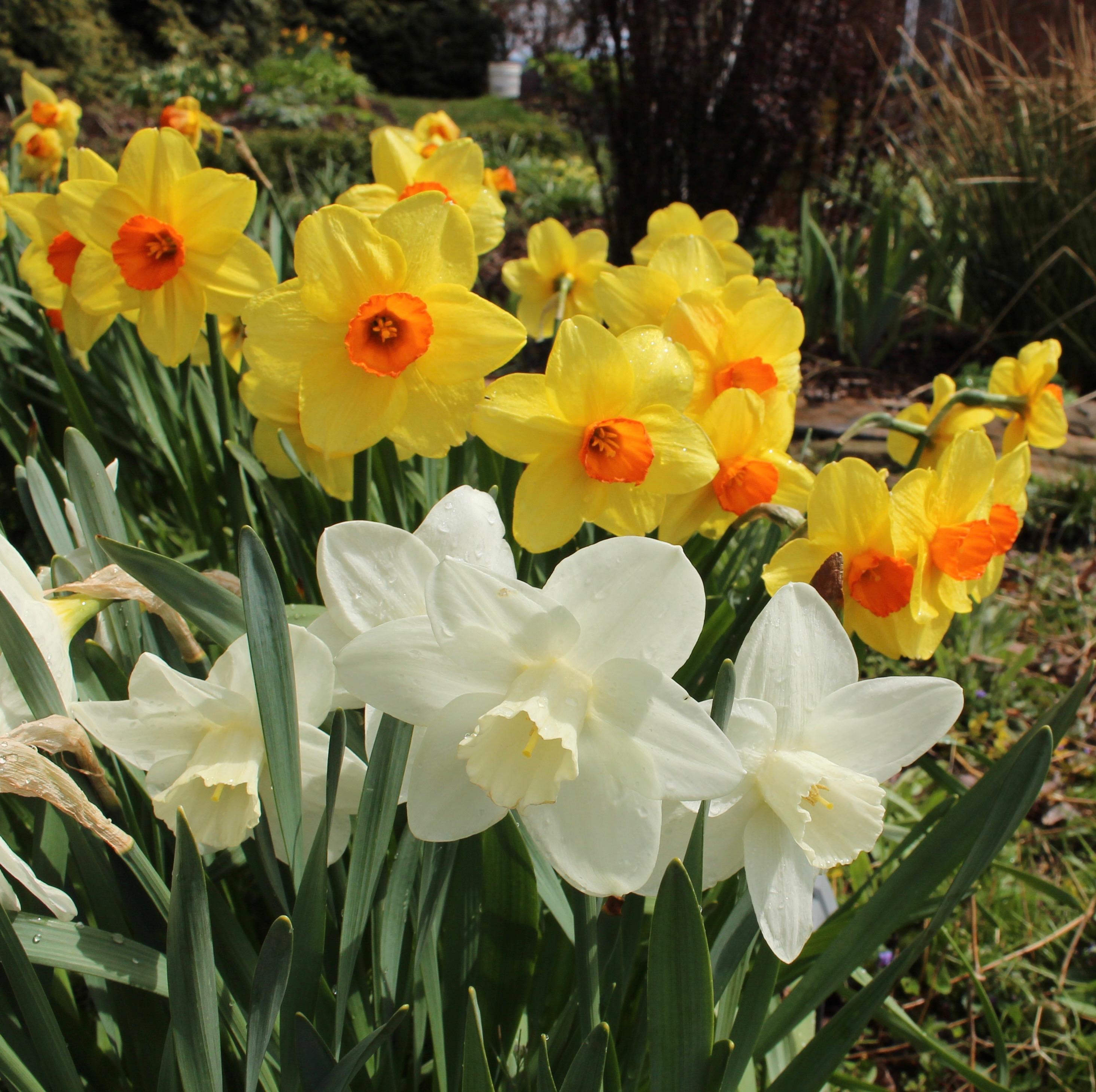 daffodil williamsburg red devon
