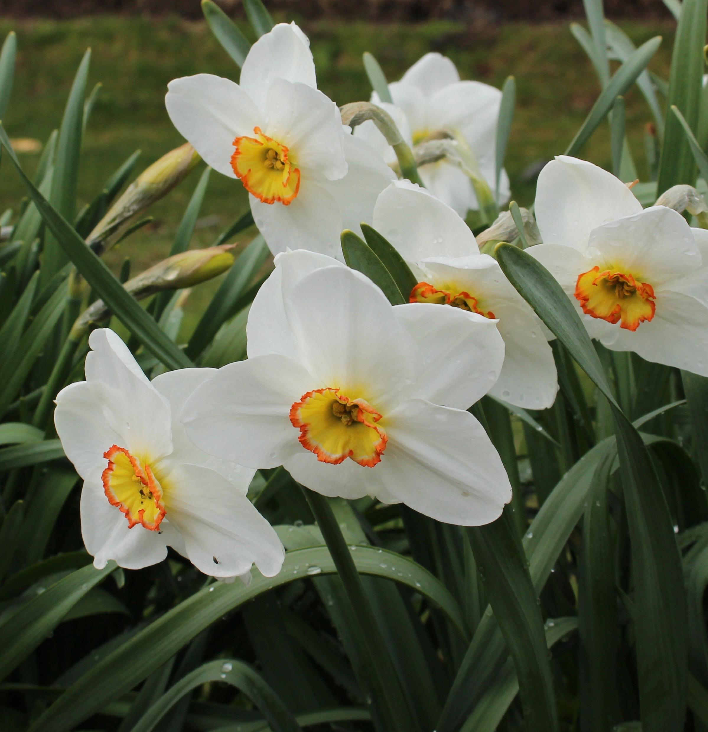 daffodil dress circle