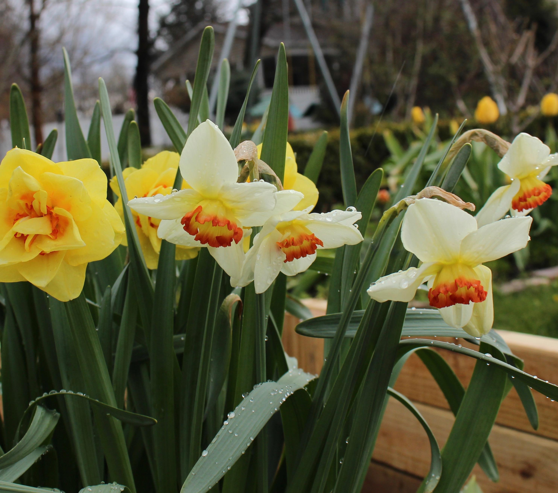 daffodil coral light