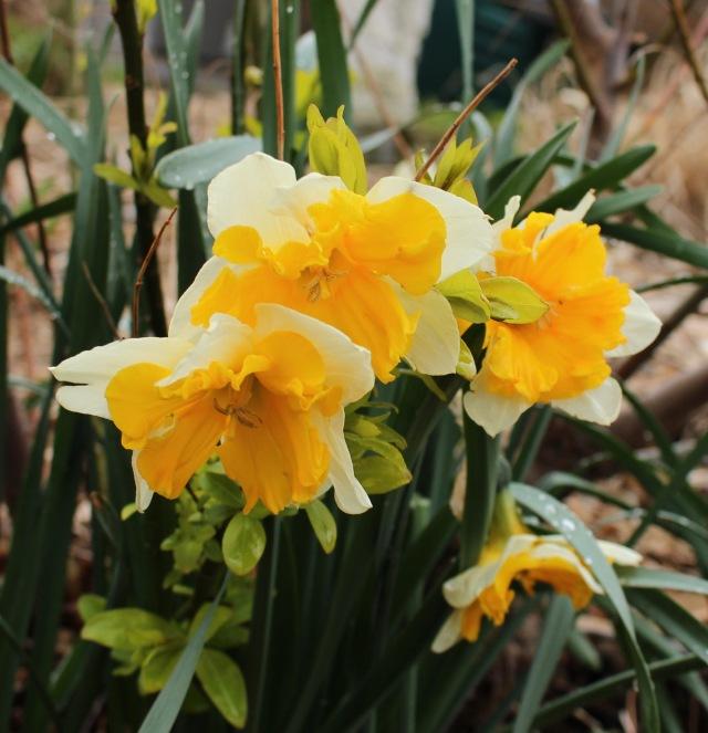 daffodil cassata