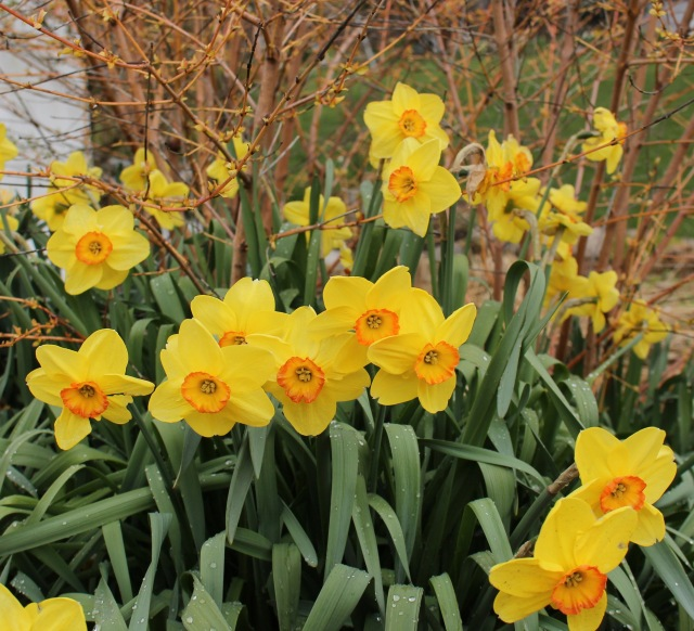daffodil altruist