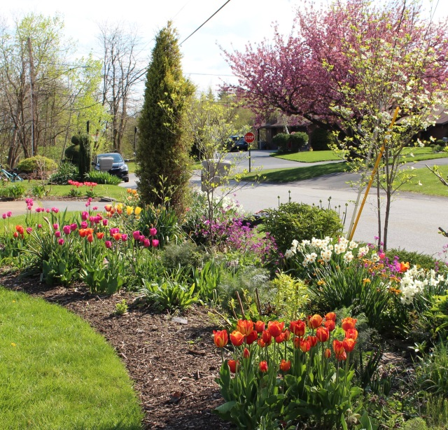 tulip perennial border