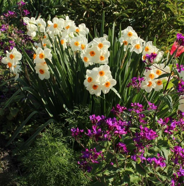 daffodil geranium