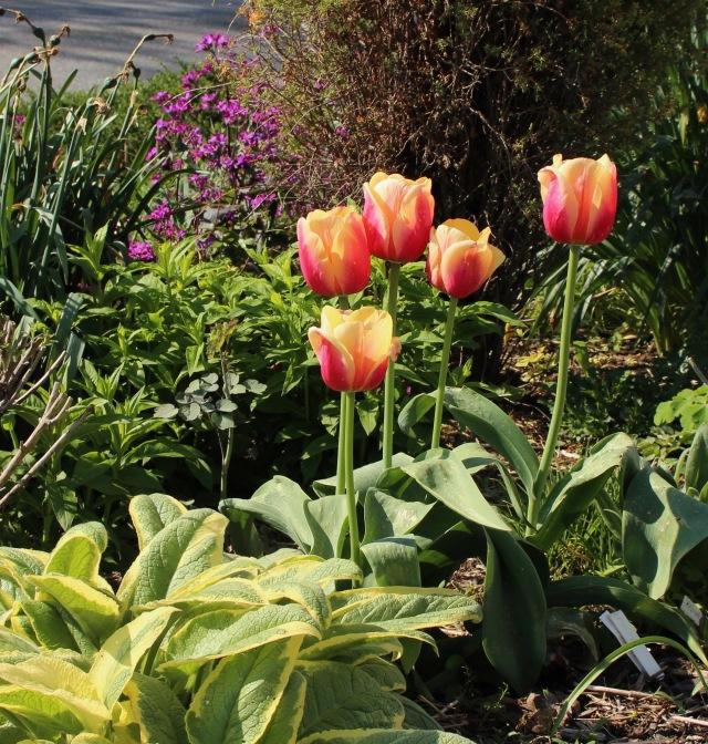 tulip marit