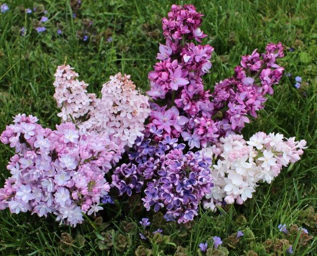 father fiala lilac