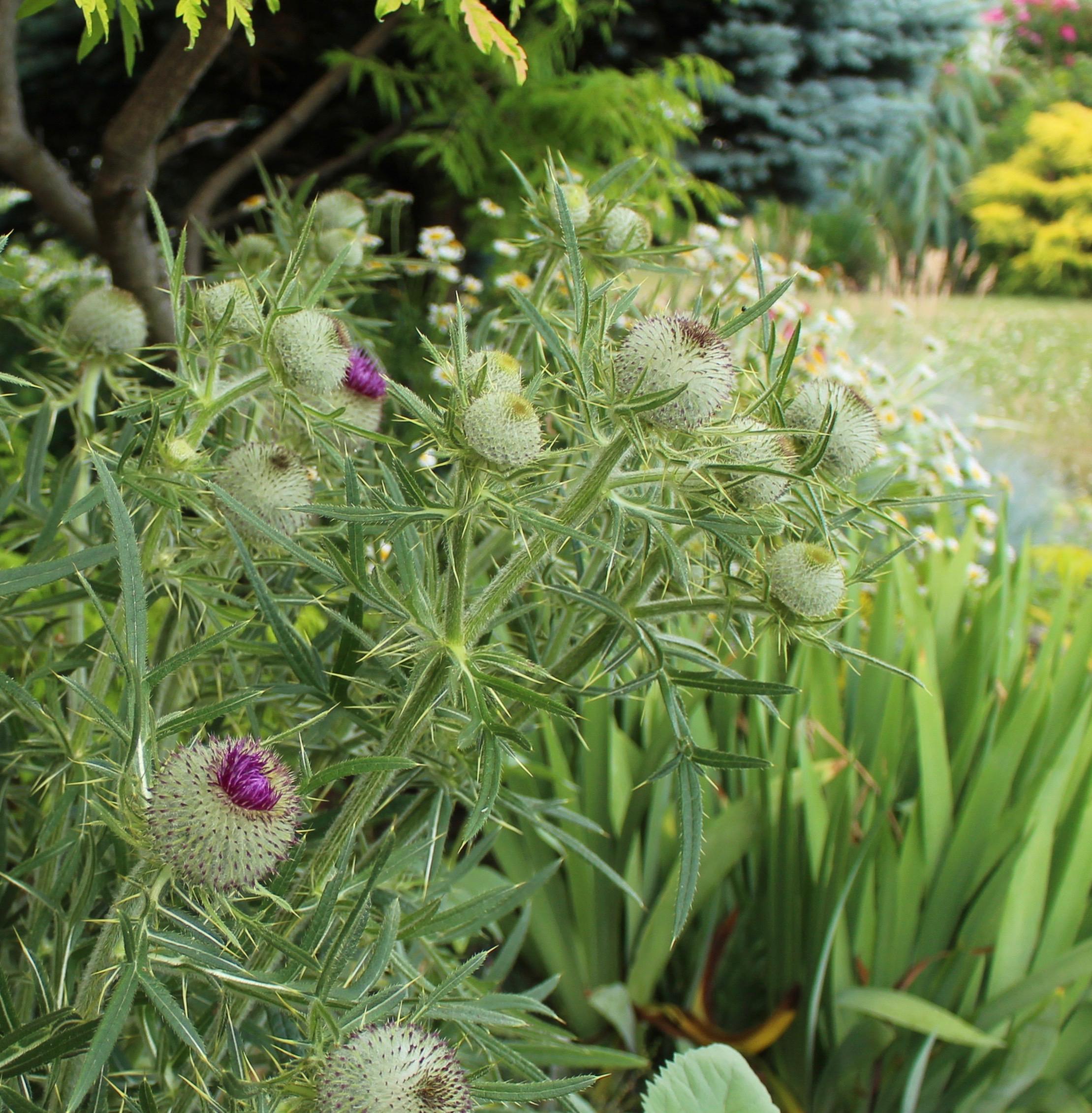 Cirsium eriophorum woolly thistle