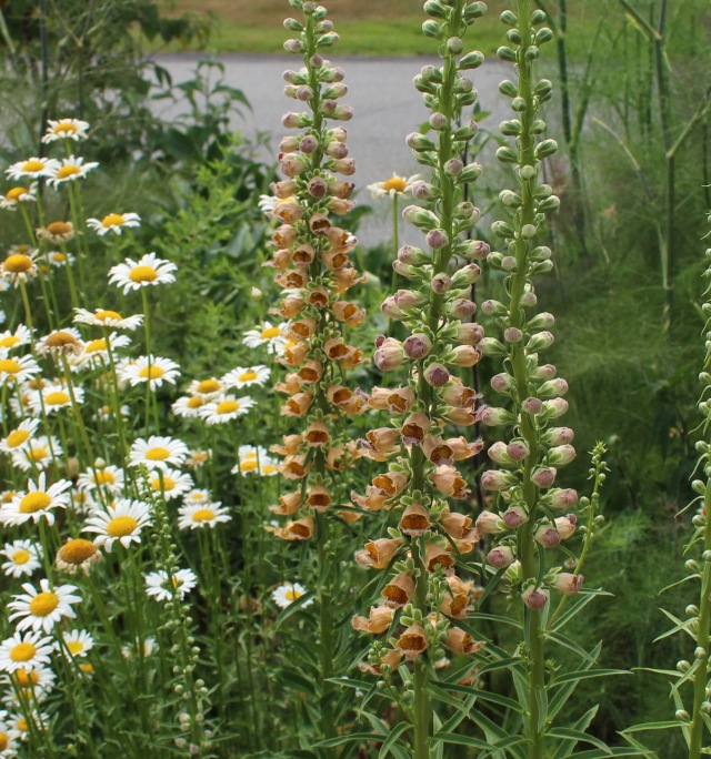 digitalis ferruginea gigantea