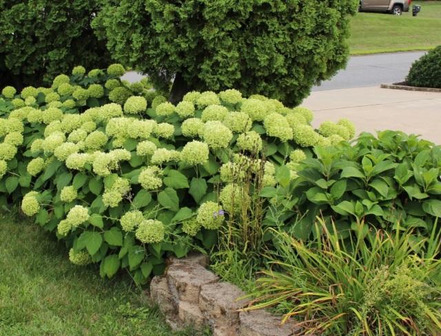 annabelle hydrangea green