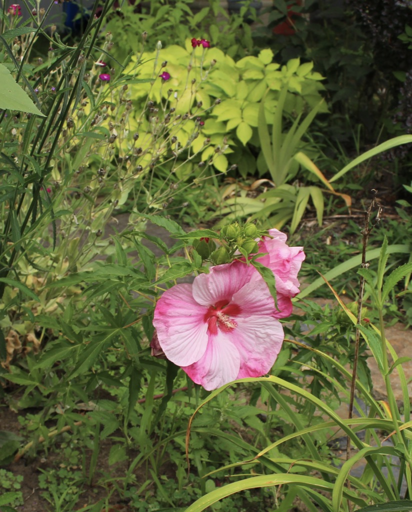hibiscus turn of the century