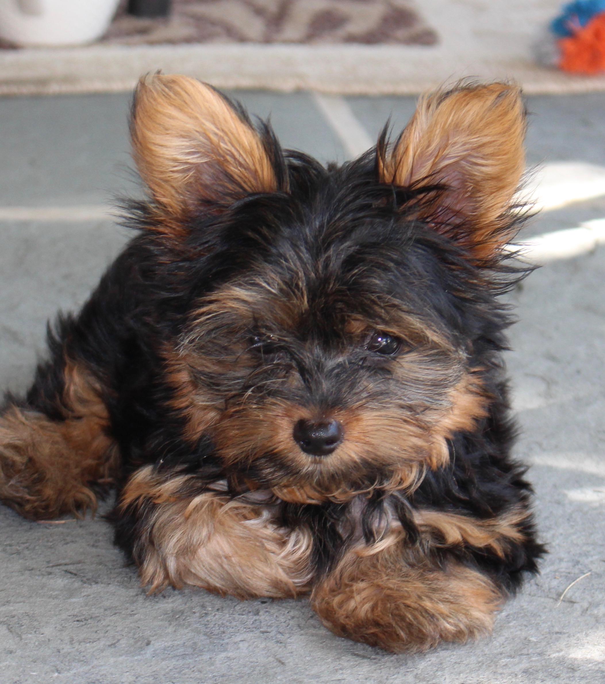 biscuit the yorkie
