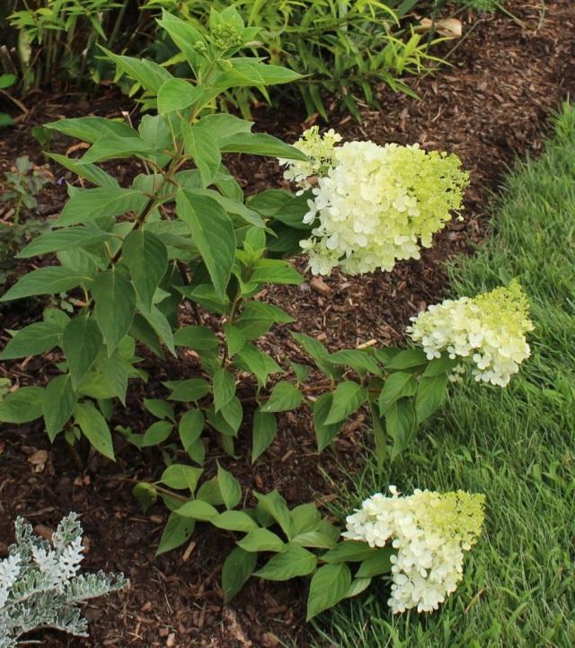 limelight hydrangea seedling