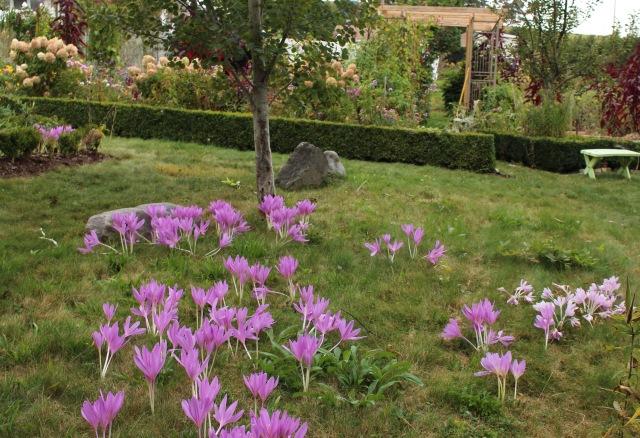 colchicum lawn