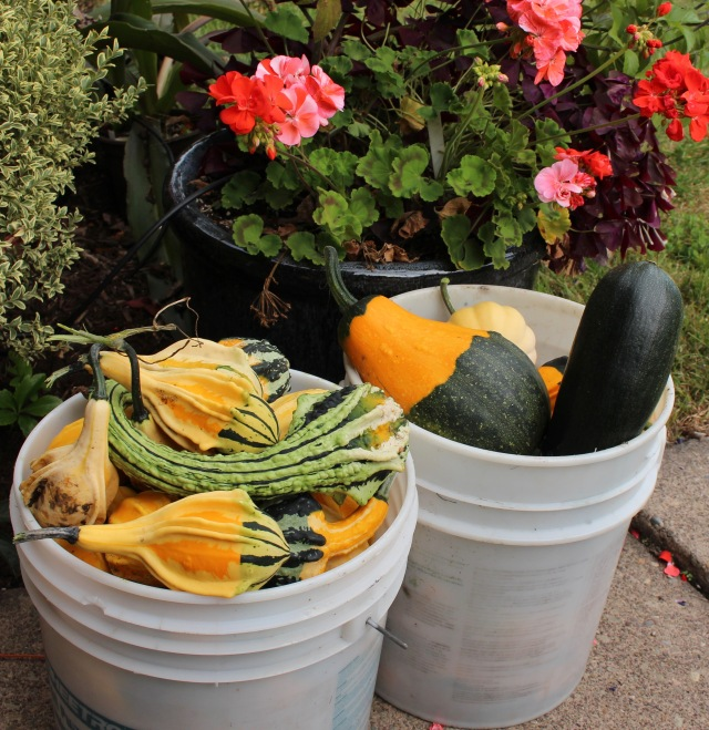 homegrown gourd harvest