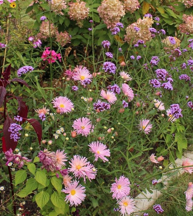 hardy chrysanthemums