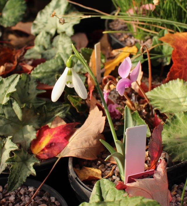 galanthus bursanus