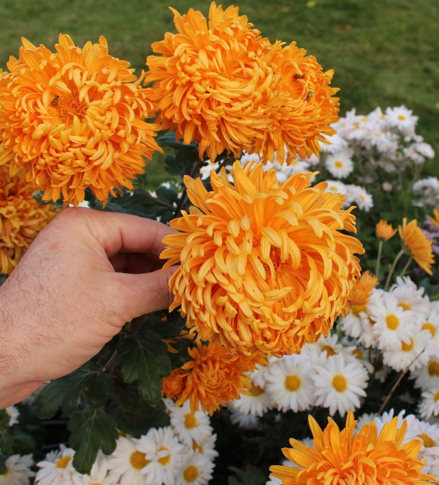 chrysanthemum cheerleader