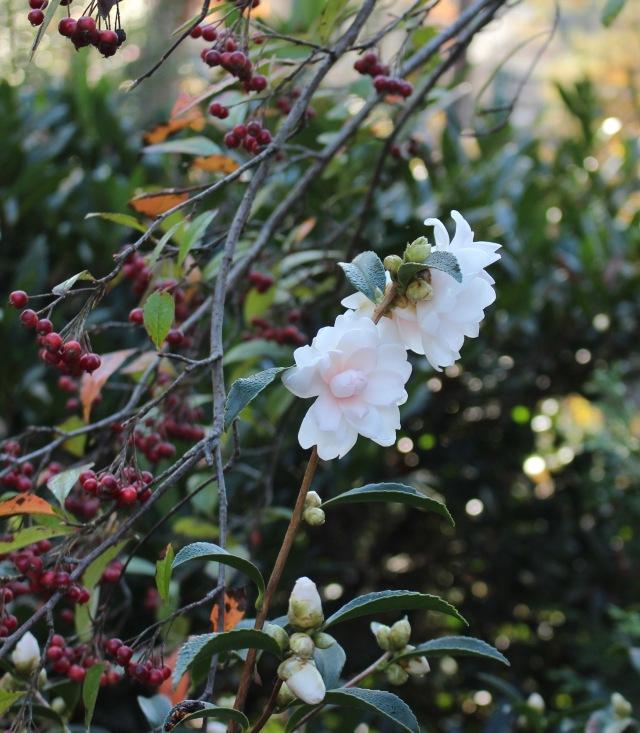 ackerman hybrid camellia