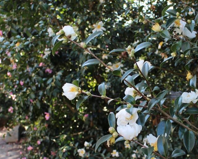 hardy camellia survivor