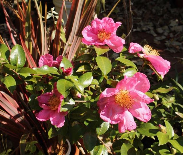 camellia moon festival