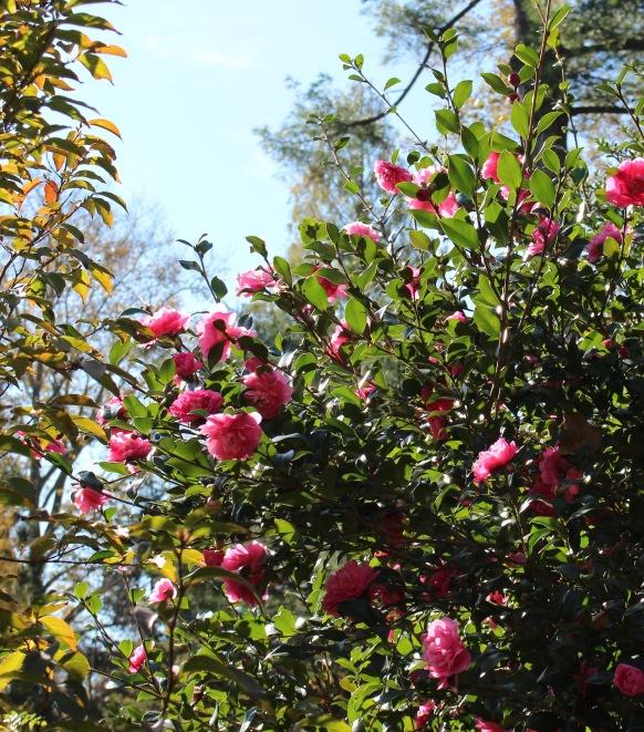 camellia autumn spirit