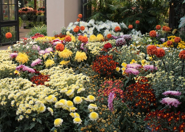 longwood chrysanthemums