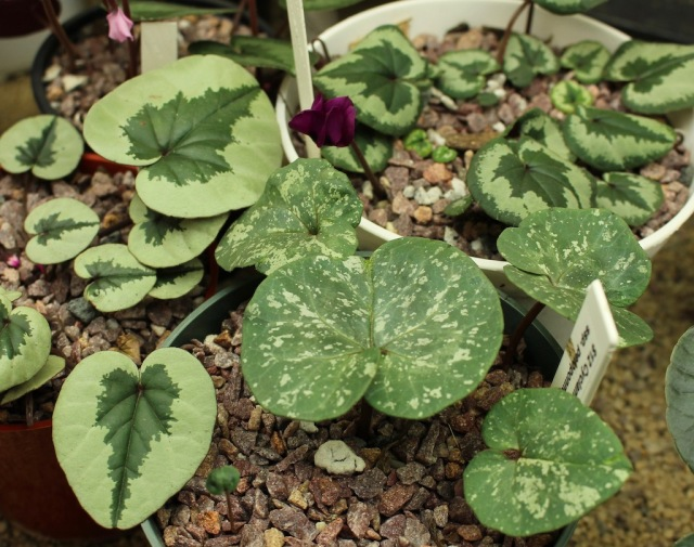 Cyclamen rhodium ssp peloponnesiacum