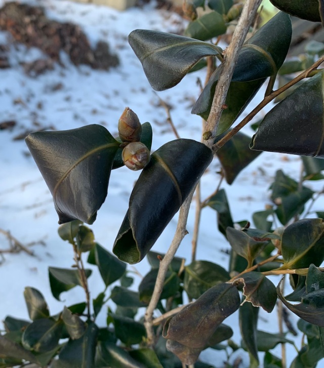 camellia in cold winter