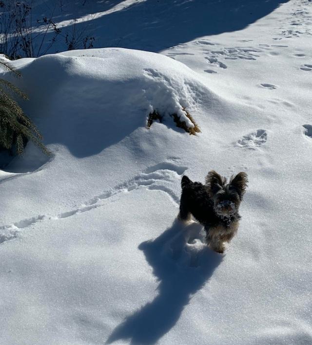 snow yorkie