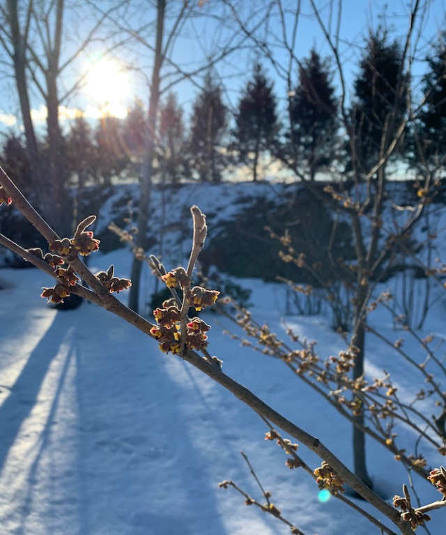winter witch hazel pallida