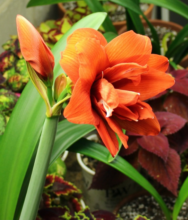 double orange amaryllis