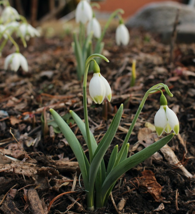 galanthus green brush
