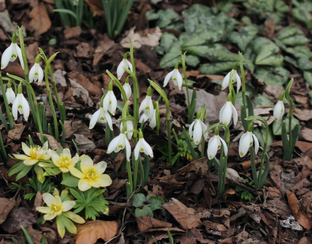 galanthus friendship