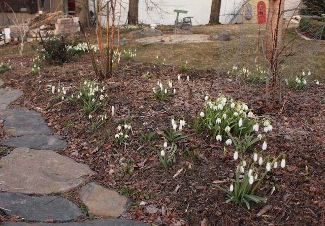 galanthus garden